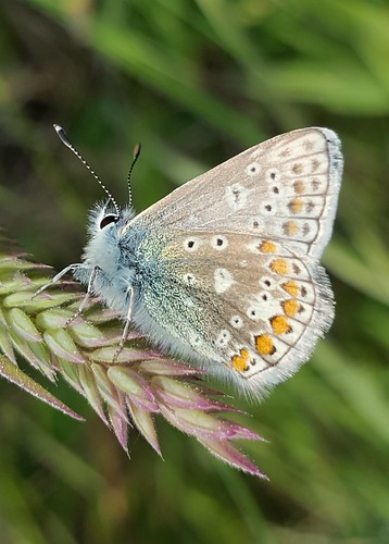 bluebutterfly commonblue