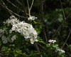 Prunus spinosa_edited-1