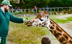 GIRAFFES AT DUBLIN ZOO [AFRICAN PLAINS SECTION]-128897