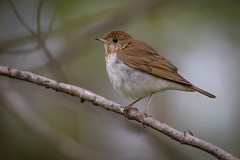 Veery | Catharus fuscescens | Grive fauve