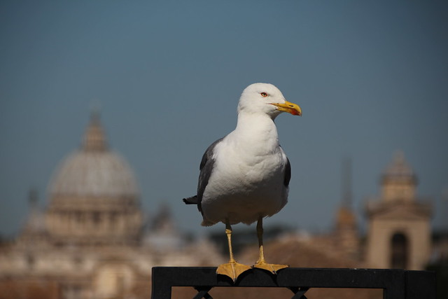 A gull named Rodney, Canon EOS 700D, Canon EF 75-300mm f/4-5.6 IS USM