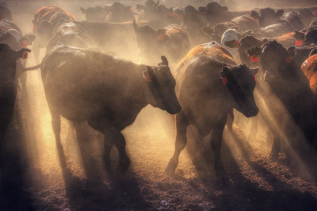 Restless cattle at sunset