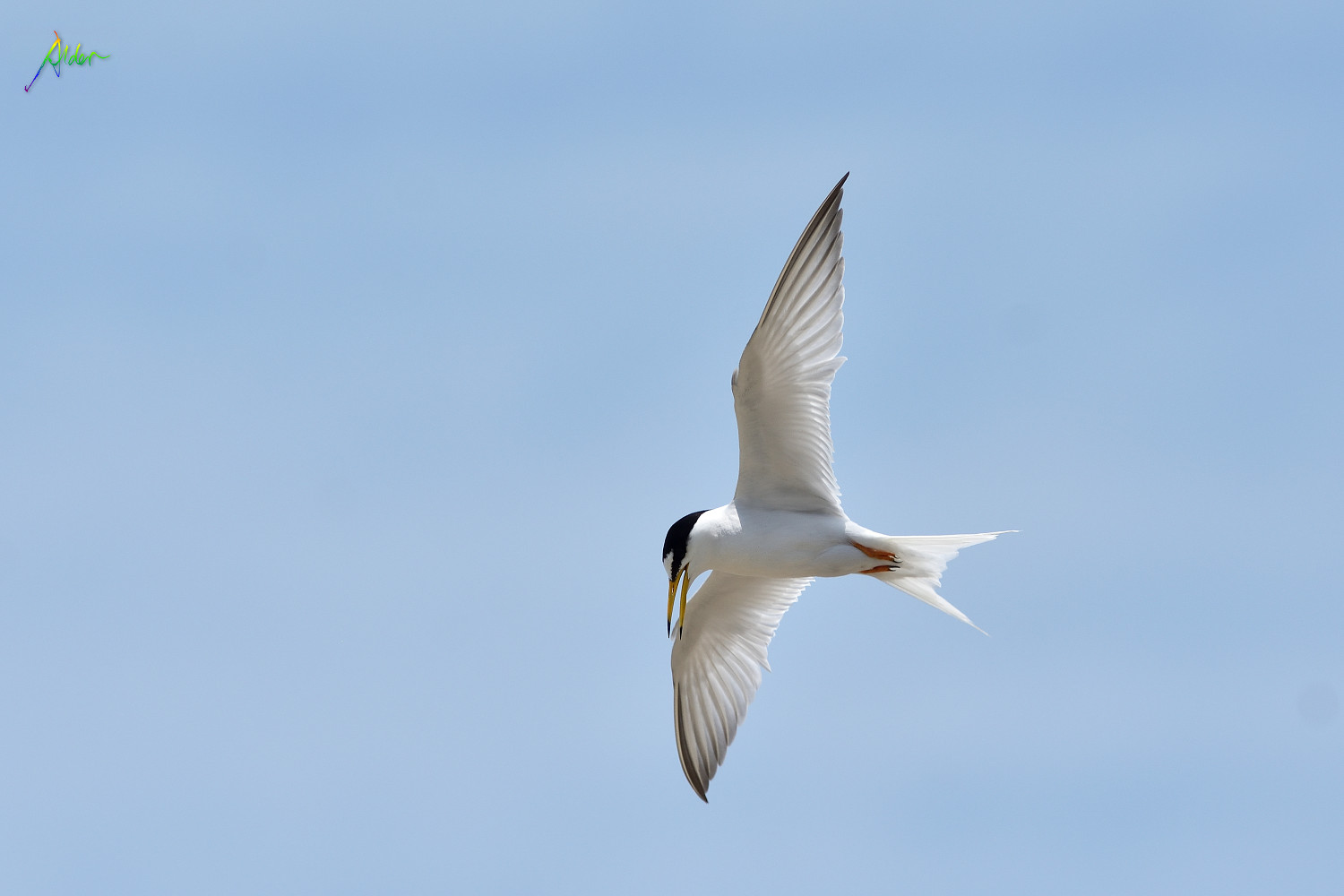 Little_Tern_2682