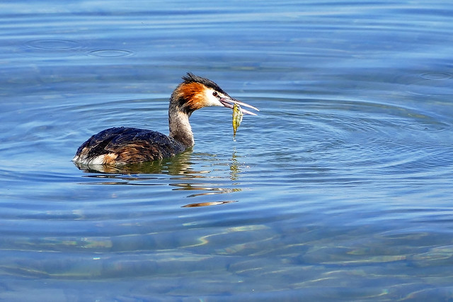 great crested grebe with a fish