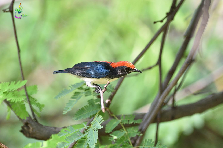 Scarlet-backed_Flowerpecker_8832