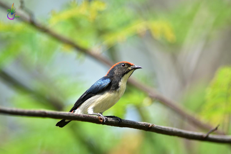 Scarlet-backed_Flowerpecker_8817