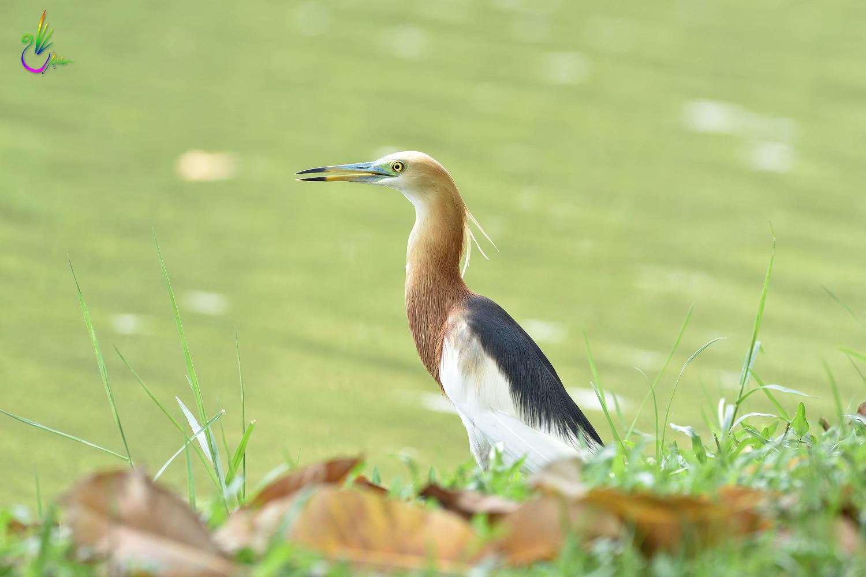 Javan_Pond_Heron_9771