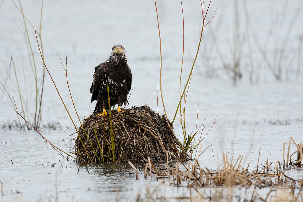 A bald eagle sits on a mound as the rain pours down at Rest Lake in Ridgefield National Wildlife Refuge