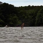Osprey & American Shad