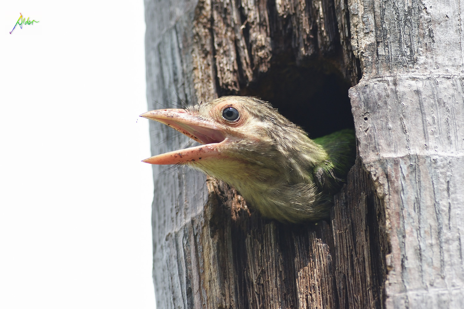 Lineated_Barbet_1565