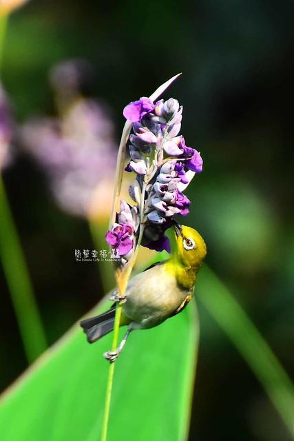 20170531 植物園-綠繡眼 (8), Nikon D5500, Sigma 24mm F1.8 EX DG Aspherical Macro