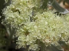 altered andesite buckwheat, Eriogonum robustum