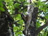 Dendrocopos medius - Middle Spotted Woodpecker