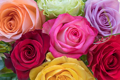 Roses Color Explosion
