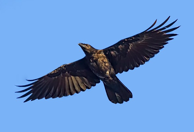 Young  Raven ( corvus corax )  - Look I can fly !!