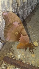 Polyphemus Moth (Antheraea polyphemus), California - Solomons Quad, St. Mary's County, MD, 2017_0618