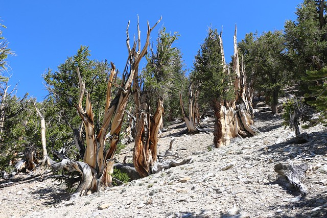 2661 Beautiful shapes and colors on the dead Bristlecone Pine stumps on the Methuselah Trail