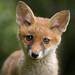 Fox cub by - Alex Witt -