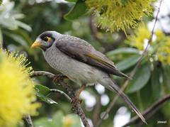 noisy miner is a bird in the honeyeater family