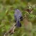 Gray catbird by Phiddy1