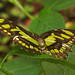 Malachite butterfly in Butterfly Magic, Tucson Botanical Gardens by Distraction Limited