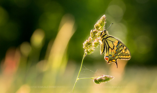 Machaon ou Grand porte-queue, Canon EOS 700D, Sigma 105mm f/2.8 EX DG OS HSM Macro
