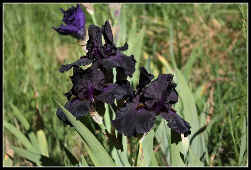 Iris 'Old Black Magic' - Schreiner 1996 34782175352_66f6112c05
