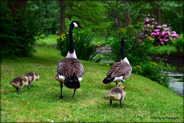 Canadian geese and their cute little goslings at Bodnant Garden