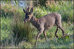 HolderRoe Deer (image 1 of 2)