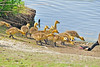 Canada Goose And Goslings 17-0521-3542 by digitalmarbles