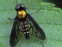 Gold-backed Snipe Fly insect on blackberry plant