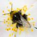 Bombus pratorum by Nico's wild bees & wasps