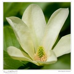 Yellow Magnolia, Arboretum