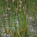 Common Spike-rush - Eleocharis palustris