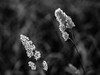 alb negru fir de iarba-6080069