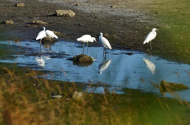 egrets, Nikon D7000, AF Nikkor 180mm f/2.8 IF-ED