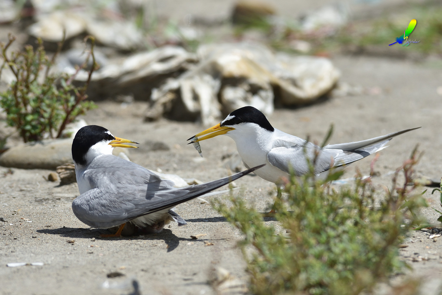 Little_Tern_8730