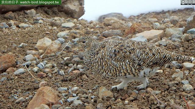 Photo:岩雷鳥 (Lagopus muta#Rock Ptarmigan) By Lin Sun-Fong