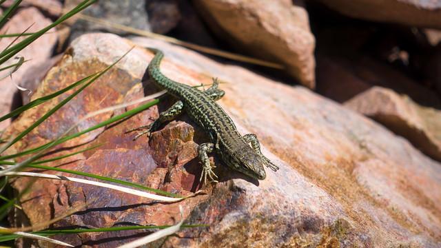 Mandatory lizard picture