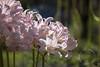 pinklilies16