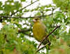 Greenfinch (Carduelis chloris), m.
