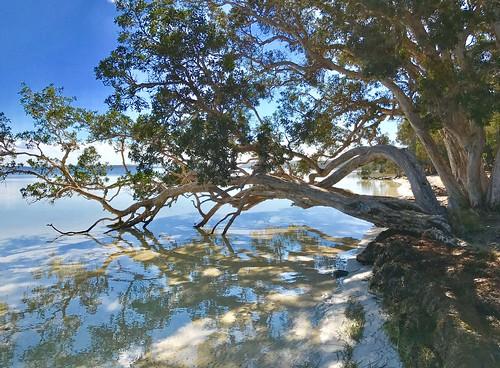 Melaleuca quinquenervia - Tea Tree at the Sailing Club, Wallis Lake, Booti Booti National Park, Forster, Mid North Coast, NSW