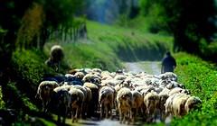 Le mouton noir (Asté, Hautes-Pyrénées)