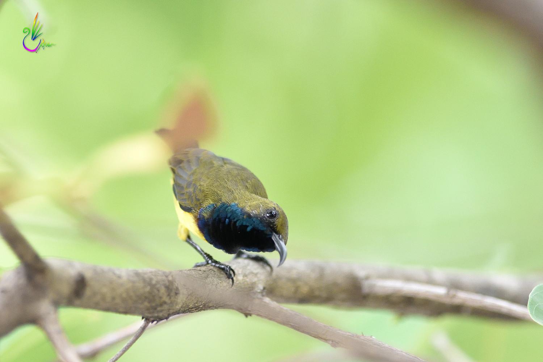 Olive-backed_Sunbird_0189
