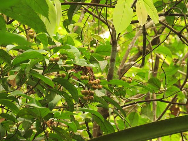 Baccaurea bracteata