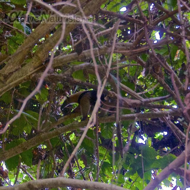 anteater northern tamandua 0001 Corcovado, Osa peninsula, Costa Rica
