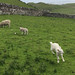 Small photo of Lambs leaping all over Scotland