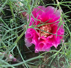 flower, cactus bloom,