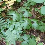 Aconitum reclinatum