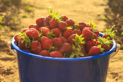 Strawberries in a bucket on the grass